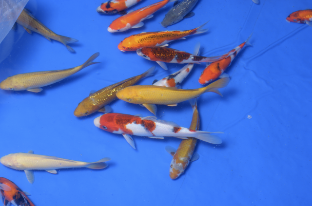 Koi will also feature at the show along with several pond displays.