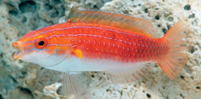 Female Cirrhilabrus hygroxerus.Image by M. P. Hammer