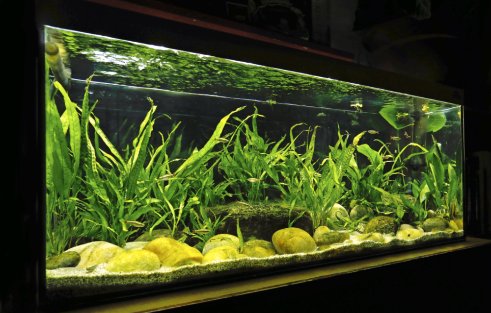 This tank was set up for Stiphodon gobies after observing them in their natural habitat in the Philippines.