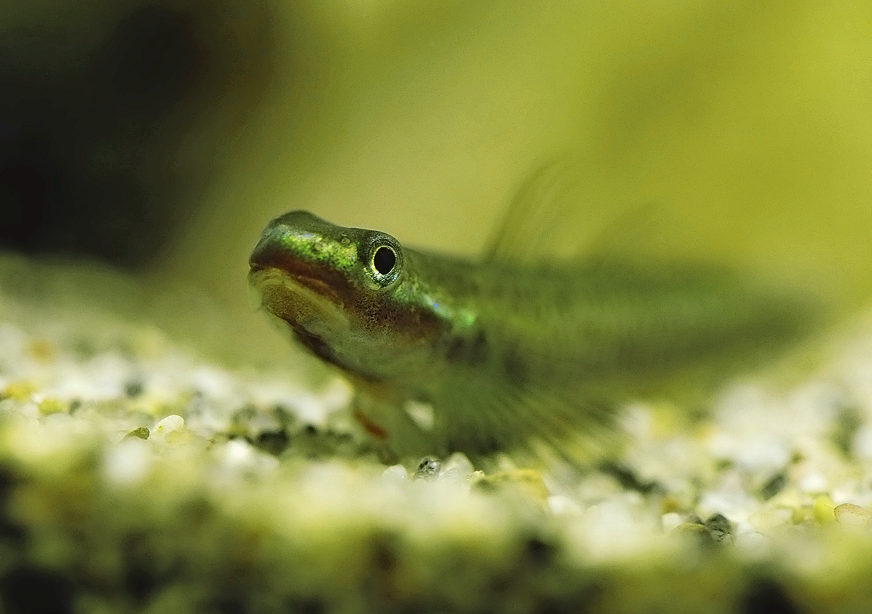 Stiphodon  gobies prefer the cooler, oxygenated water this set-up provides.