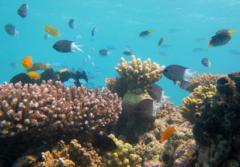 Lizard Island coral reef with the study species, Spiny damselfish, Acanthochromis polyacanthus. Image by Jodie L. Rummer