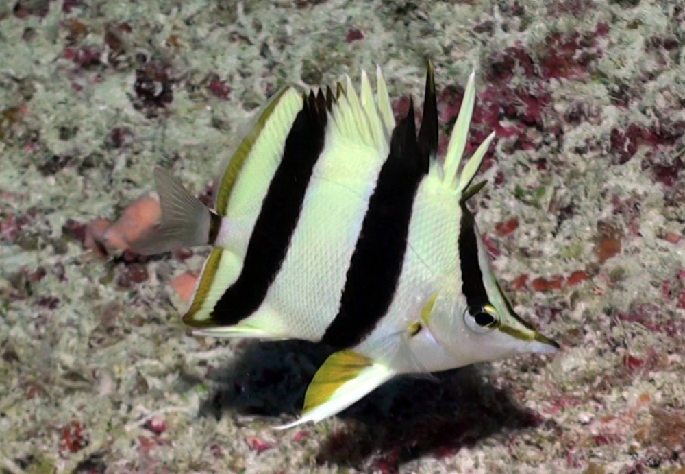 Finding a new butterflyfish species is a rare event. Image by Richard Pyle, Bishop Museum.