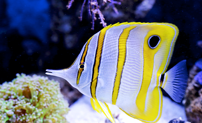 The Copperband butterflyfish is a firm favourite.