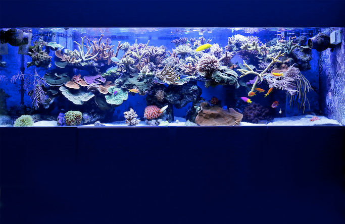 Aaron's tank is filled with colourful SPS corals, all glowing with health.