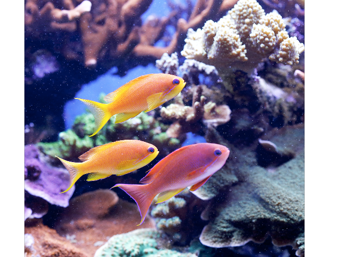 Exquisite anthias swim between the corals.