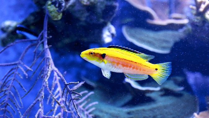 Yellow hogfish,  Bodianus bimaculatus.