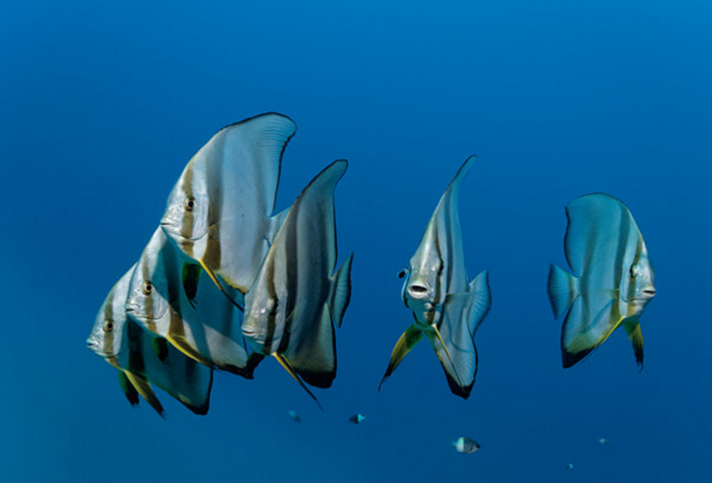 Batfish are among the fish recorded singing an underwater dawn chorus — scroll down to hear it. Image by Alamy.