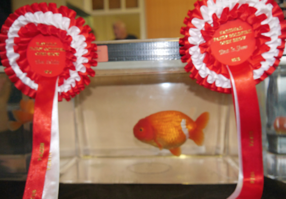 Alex King's winning Ranchu.