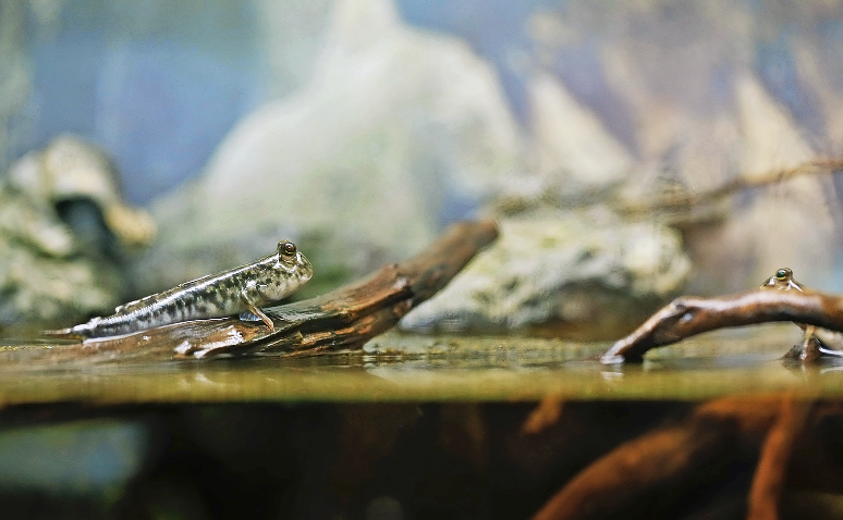 Sean has two mudskipper set-ups — he says that for sheer entertainment value, they are difficult to beat.