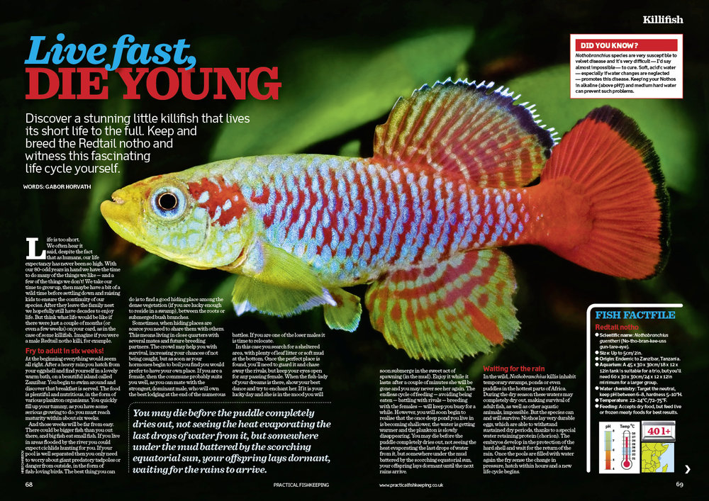Gabor Horvath on a stunning little killifish that lives its short life to the full...