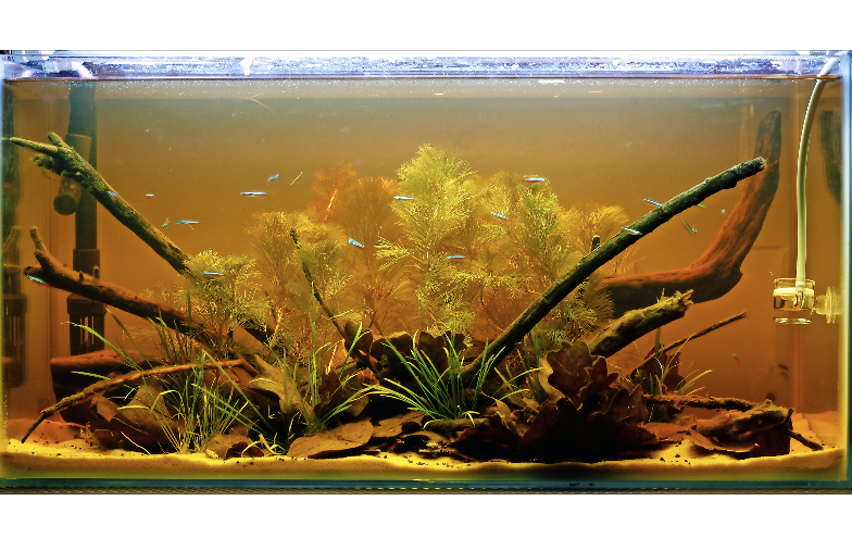 Many leaves will give the aquarium water a tea-coloured hue. Image by George Farmer.