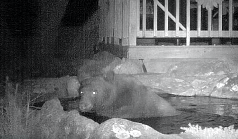 Bear-faced cheek! Bob Bramley discovered a North American bear was using his Koi pond as a bath tub. Image by SWNS/Bob Bramley.