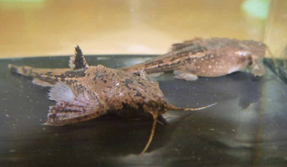 These Bunocephalus larai banjo catfish won Best Exhibit at the show.