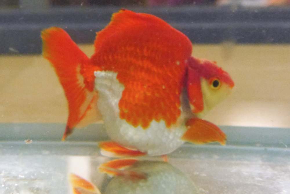 Ryukin goldfish.