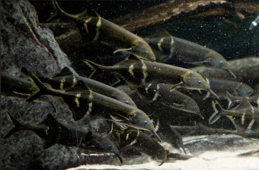 Elephantnose fish have the highest brain to bodyweight ratios of any vertebrate on Earth — including humans!