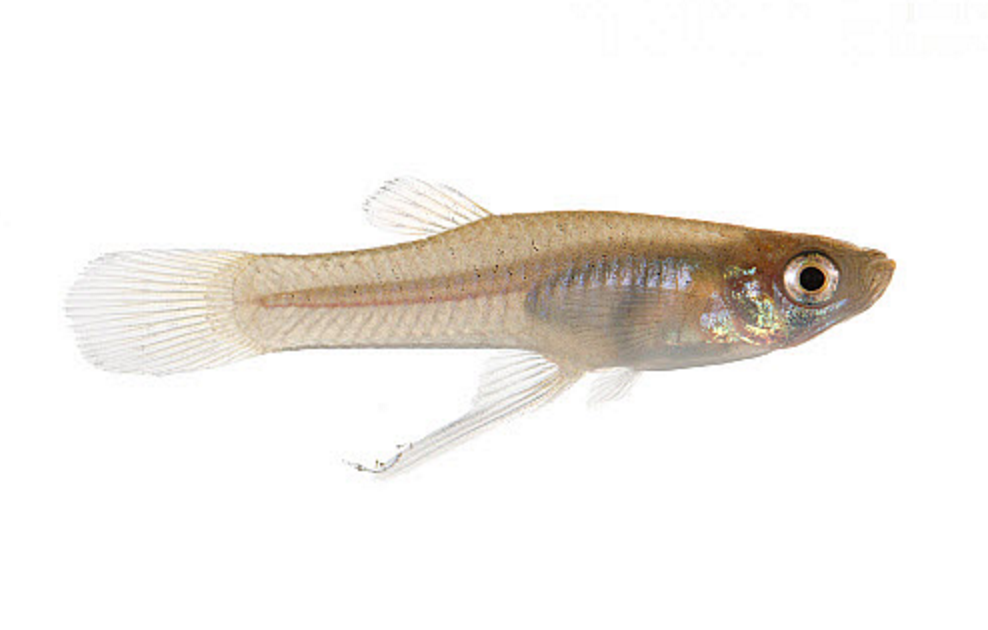 Male Eastern mosquitofish, Gambusia holbrooki. Image by MYN/JP Lawrence/NaturePL.