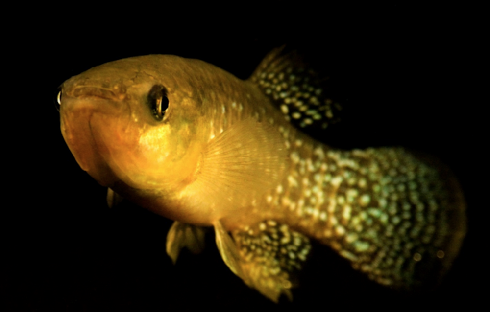 Atlantic killifish,  Fundulus heteroclitus . Image: University of California, Davis