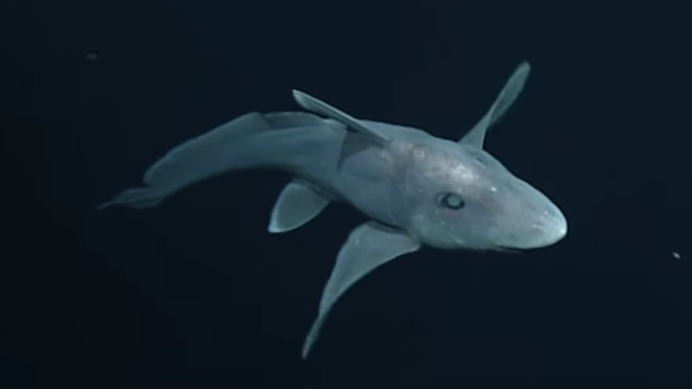 Another first for the team from the Monterey Bay Aquarium Research Institute (MBARI), who caught this ghost shark species on camera. Image: MBARI/YouTube.