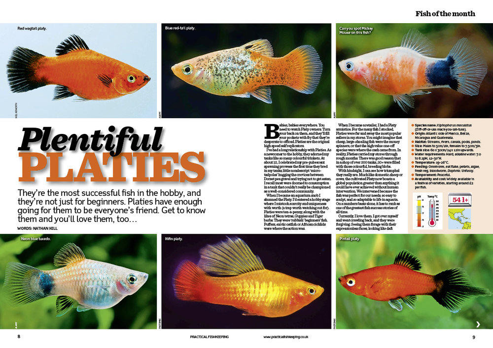 Platies are our fish of the month