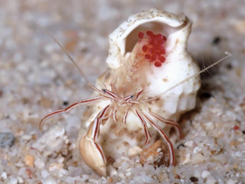 A female of the new hermit crab species,Pylopaguropsis mollymullerae. Rafael Lemaitre and Ellen Muller.
