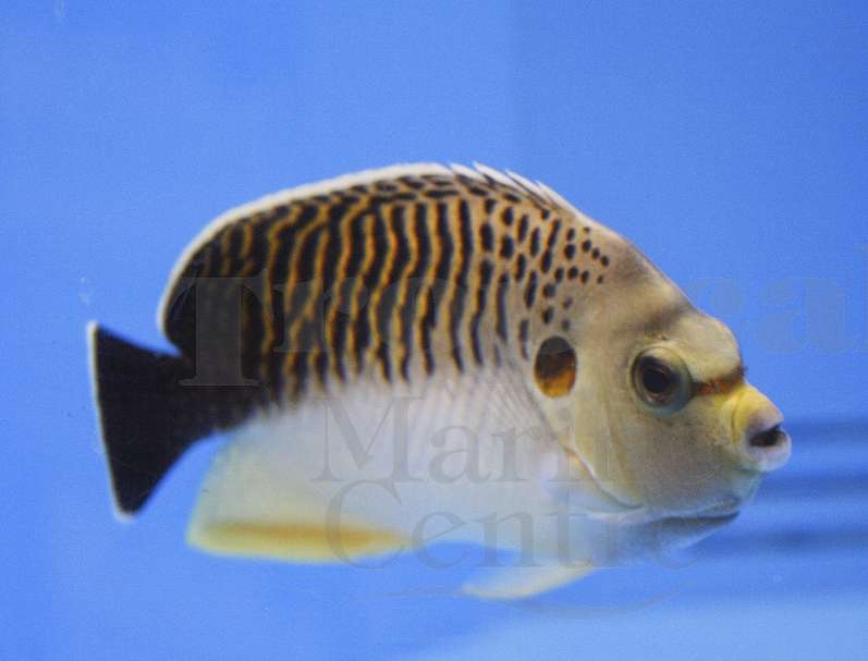 Tiger angelfish, Apolemichthys kingi. Picture courtesy of TMC.