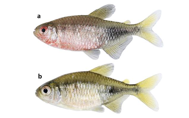 Phycocharax rasbora male (a) and female (b).
