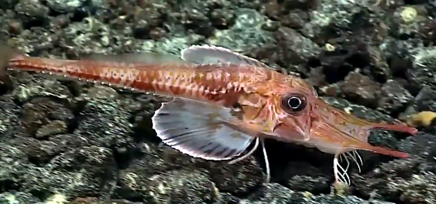 Watch this sea robin walk across the ocean floor for 1 2 3 4 monsters walking across the floor