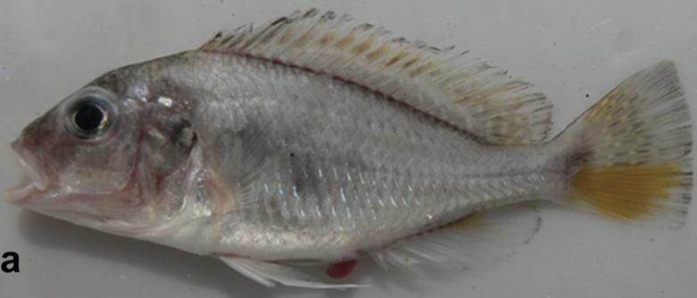 Pseudocrenilabrus pyrrhocaudalis,female.