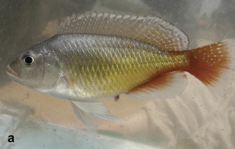 Pseudocrenilabrus pyrrhocaudalis, male.