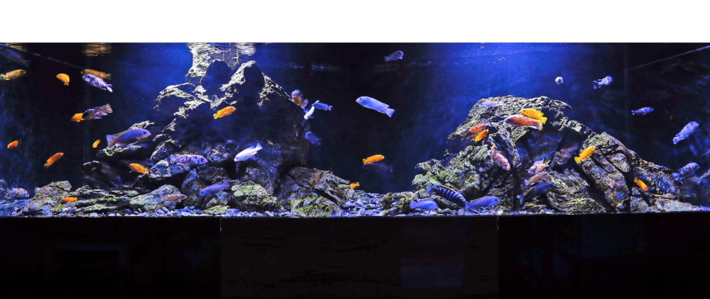 Having plenty of rockwork has resulted in more natural behaviour among the fish.