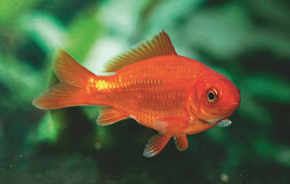 Goldfish could pose a risk to native Crucian carp if their eggs get into waterways, say Dutch officials.