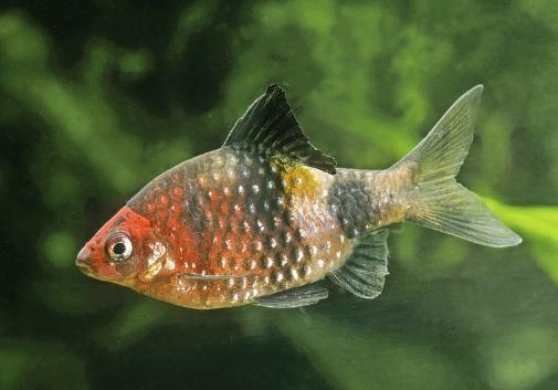 Black ruby barb,  Pethia nigrofasciata