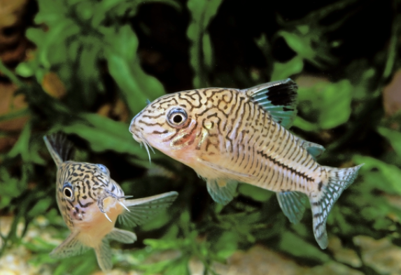 Three-lined cory, Corydoras trilineatus