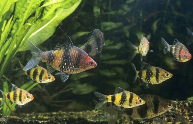 The Black ruby barb, Pethia nigrofasciata, is a gorgeous fish for the temperate aquarium.