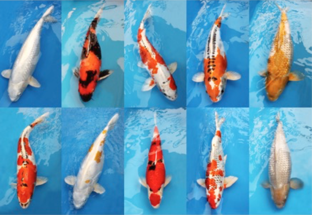 Koi Stolen from Surrey Store, Have you seen these koi fish?