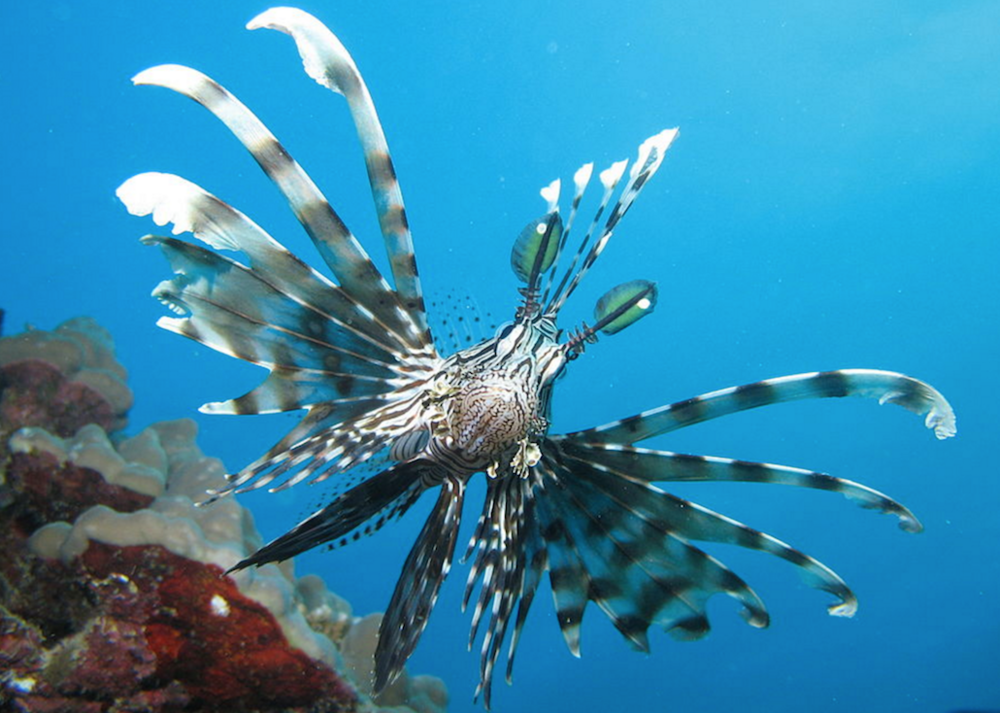 Common lionfish,  Pterois miles . Image by  Magnus Kjaergaard, Creative Commons
