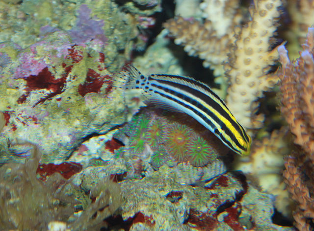 Striped poison fang blenny, Meiacanthus grammistes. Image by Brian Gratwicke, Creative Commons.