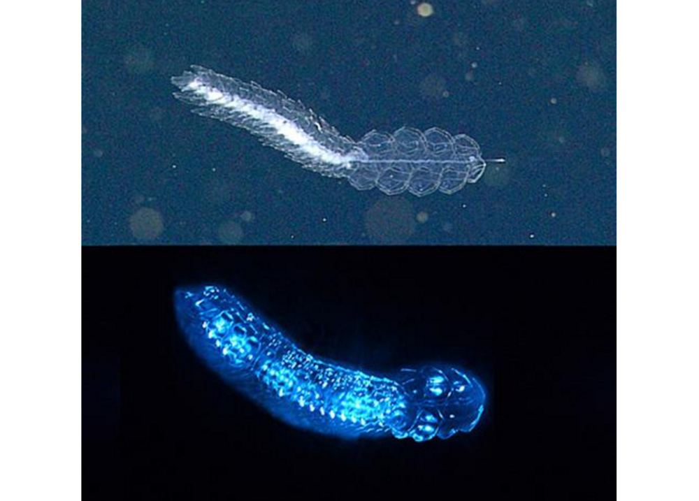 A siphonophore,  Frillagalma vityazi , lit up by lights on a remotely operated vehicle (top) and emitting bioluminescence in the lab (bottom). Top image: 2015 MBARI. Bottom image: Steve Haddock, MBARI.
