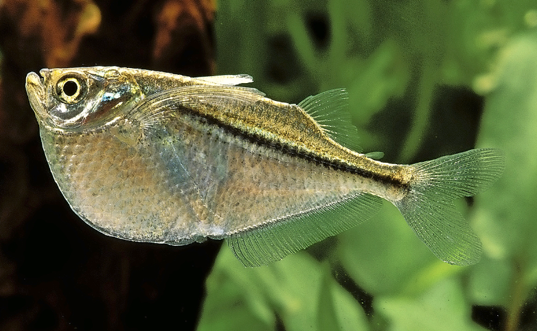 Common hatchetfish,  Gasteropelecus sternica.