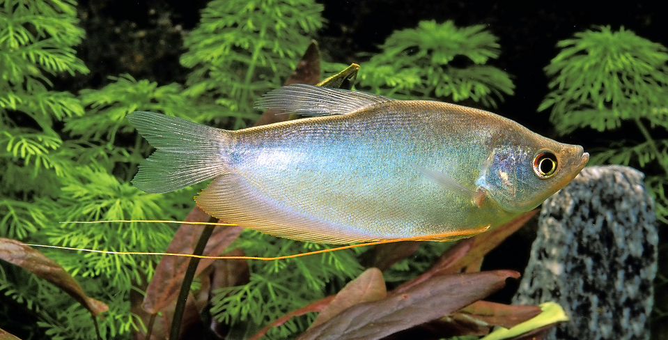 While often uninspiring in shop tanks, Moonlight gourami colour up beautifully once settled into a planted aquarium.