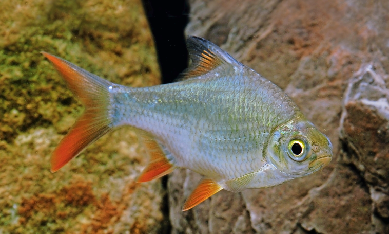 Tinfoils are stunning looking fish but they reach a bulky 30cm-plus.