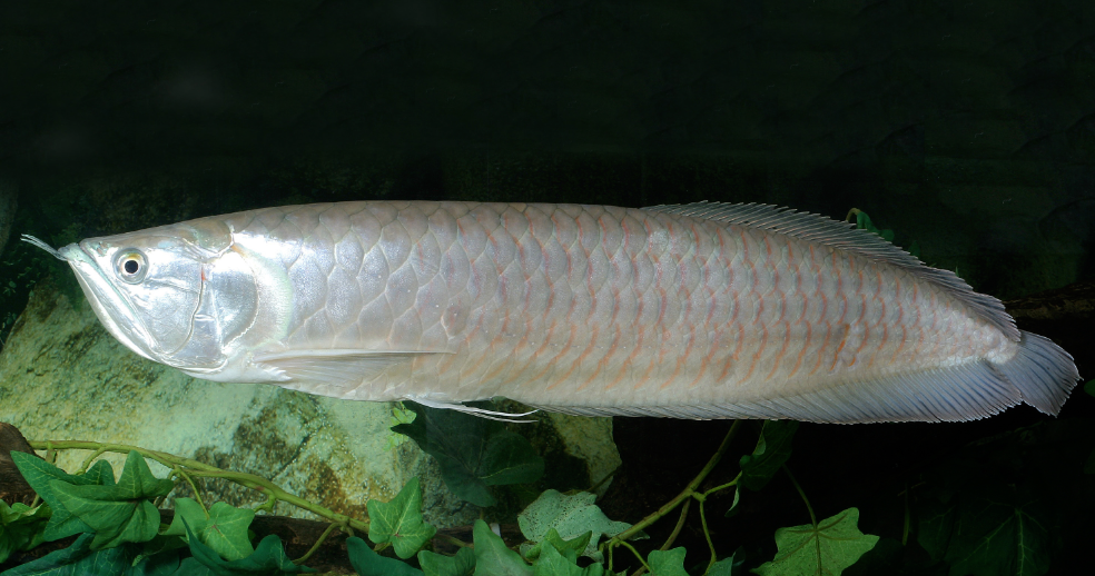 Silver Arowana are usually sold as small juveniles, but can reach almost a metre in length.