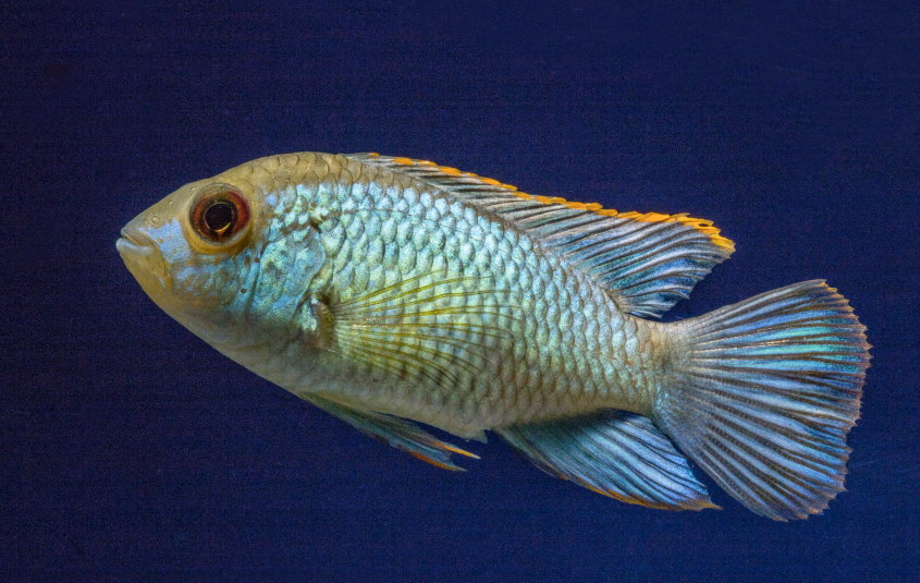 The Electric blue Acara is likely to be a hybrid.
