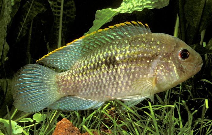 The 'normal' Blue Acara, Andinoacara pulcher
