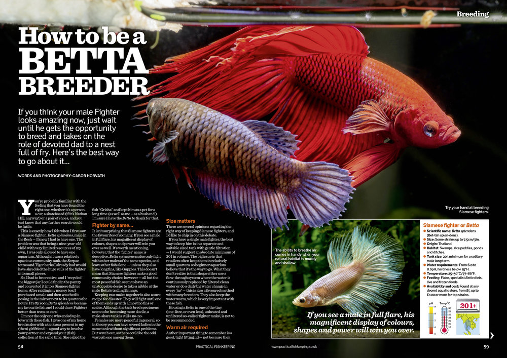 How to be a Betta breeder by Gabor Horvath.