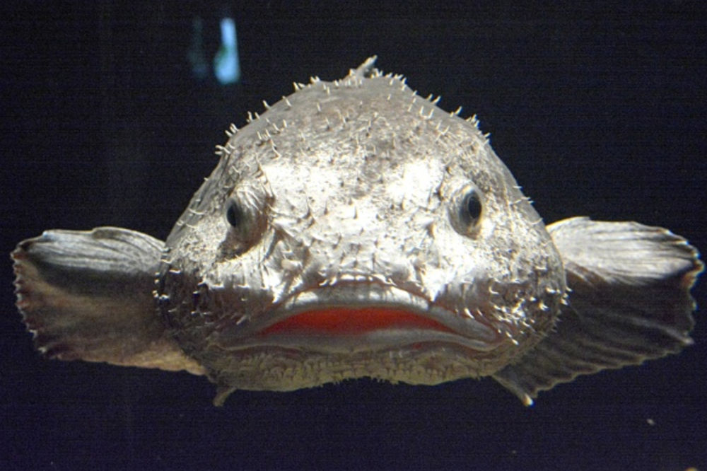 The Blobfish on display at the Fukushima aquarium. Kyodo News via Getty Images.