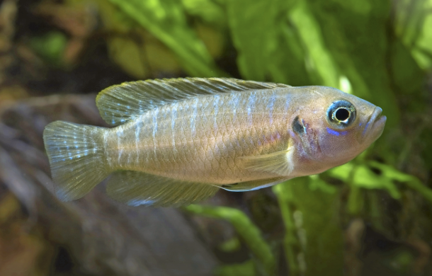 Neolamprologus brevis is the species you're most likely to see in sale. It's also one of the more peaceful.