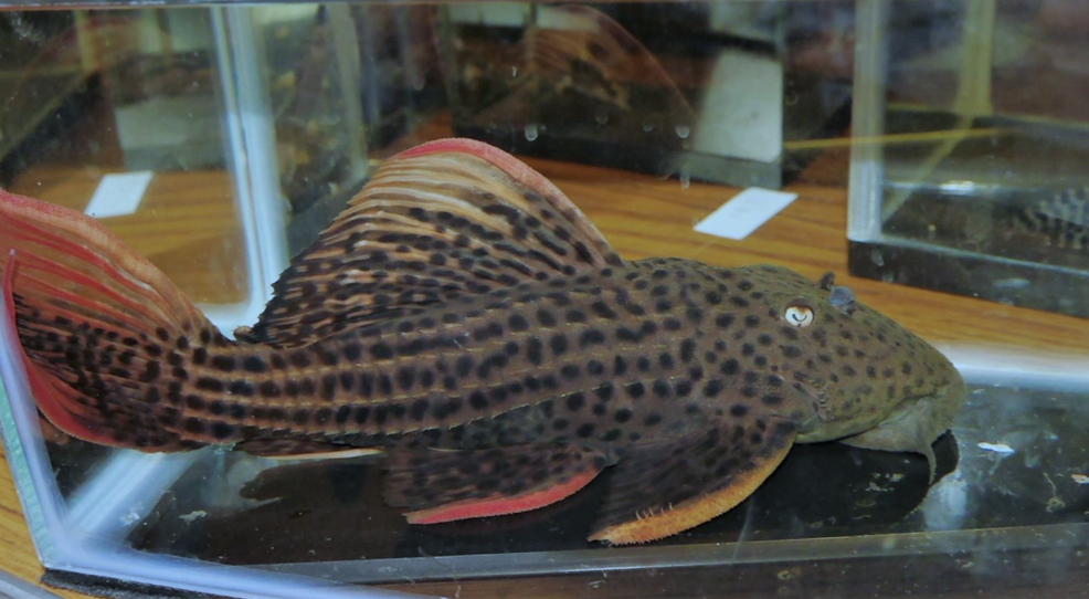Marc Taylor-Olsson's  Pseudacanthicus  catfish won Best in Show with 86.33 points.