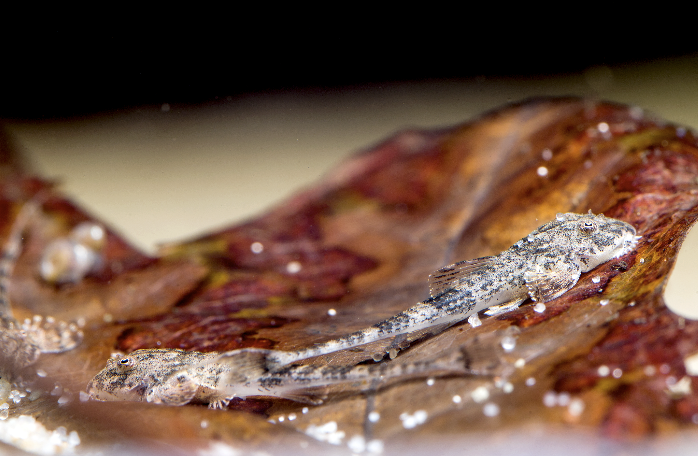 Spatuloricaria puganensis juveniles.