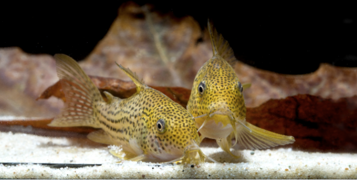 Corydoras eversi  may not even exist in the wild any more, so it's a species that fishkeepers should try and breed to ensure its continued existence.